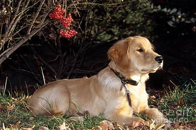 Golden Retriever Puppies Photograph - Golden Retriever Puppy by William H. Mullins