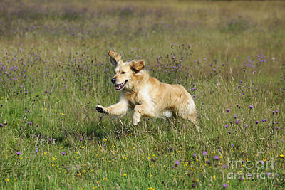 Golden Retriever Running Art Print by John Daniels