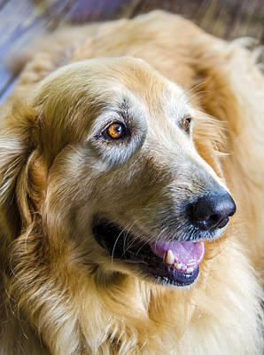 Photograph - Golden Retriever Smile by Carolyn Marshall