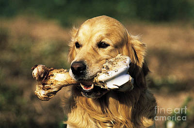 Gnawing Photograph - Golden Retriever by Tierbild Okapia