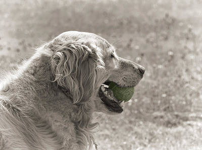 Photograph - Golden Retriever With Ball Monochrome by Jennie Marie Schell