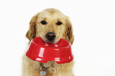 Id Tag Photograph - Golden Retriever With Bowl by John Daniels