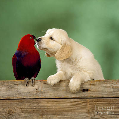 Photograph - Golden Retriever With Grand Eclectus by John Daniels