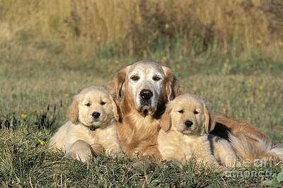 Golden Retriever With Puppies Art Print by Rolf Kopfle