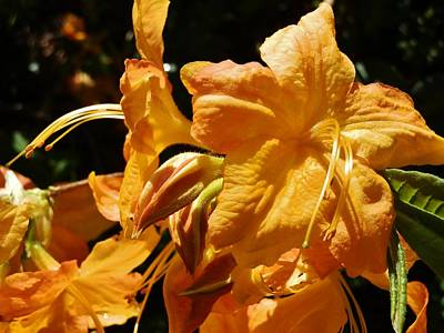 Photograph - Golden Rhody by VLee Watson