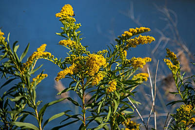 Photograph - Golden Rods At Northside Park by Bill Swartwout Fine Art Photography