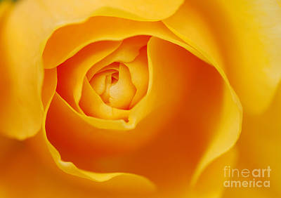 Graham Photograph - Golden Rose by Tim Gainey