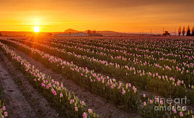 Skagit Photograph - Golden Rows Of Spring by Mike Reid