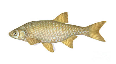Shiner Photograph - Golden Shiner by Carlyn Iverson