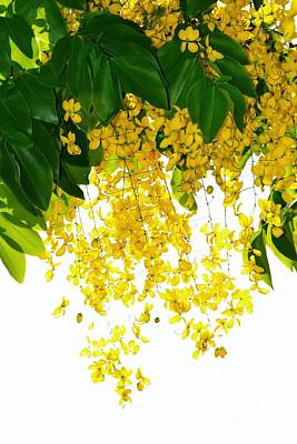 Golden Showers Flowers Art Print
