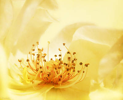 Golden Showers Rose Art Print by Deborah Smith