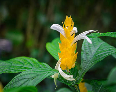 Photograph - Golden Shrimp Plant by Bill Pevlor