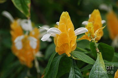 Photograph - Golden Shrimp Plant   by Mark McReynolds