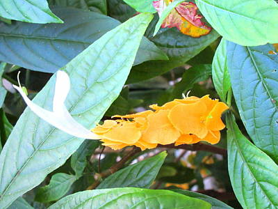 Photograph - Golden Shrimp Plant by Ashley Goforth