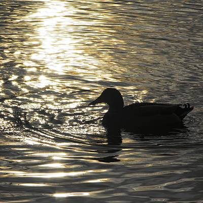 Duck Photograph - Golden Silhouette  by Photographic Arts And Design Studio