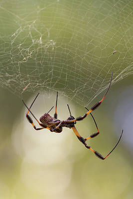 Golden-silk Spider Art Print