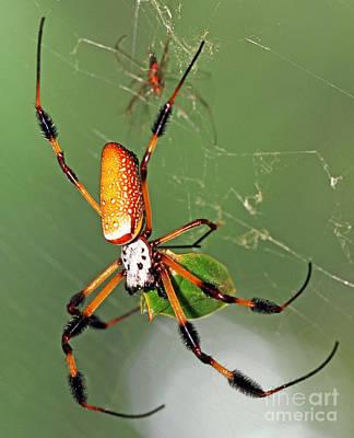 Photograph - Golden Silk Spider With Stinkbug Prey by Millard H Sharp