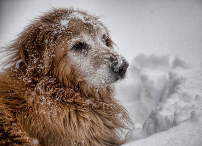 Dog In Snow Photograph - Golden Snow II by John Crothers