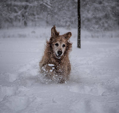 Dog In Snow Photograph - Golden Snow by John Crothers