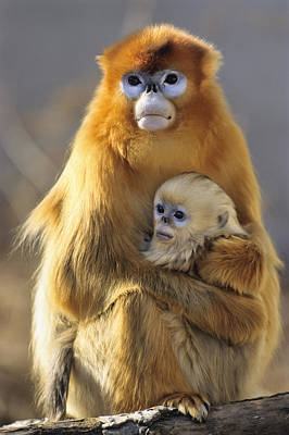 Golden Snub-nosed Monkey And Baby China Art Print by Konrad Wothe