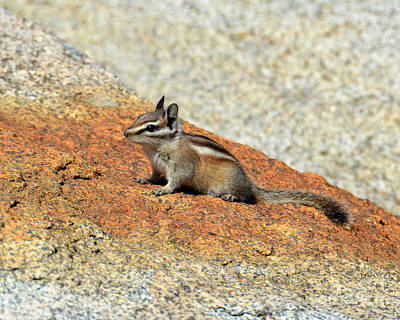 Photograph - Golden Squirrel On Rock by Debra Thompson