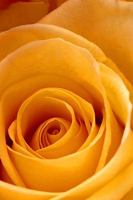 Photograph - Golden Strike Rose by Joe Kozlowski
