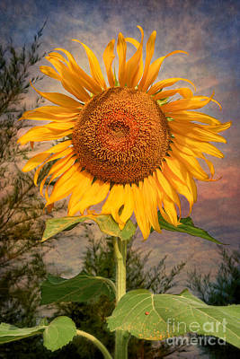 Golden Sunflower Art Print by Adrian Evans