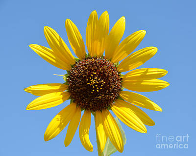 Photograph - Golden Sunflower by Debra Thompson