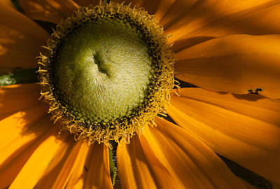 Photograph - Golden Sunflower by Jeff Folger