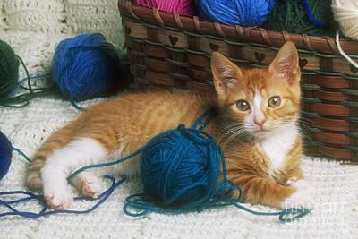 Golden Tabby Kitten Art Print