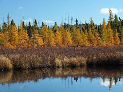 Photograph - Golden Tamaracks by Gene Cyr