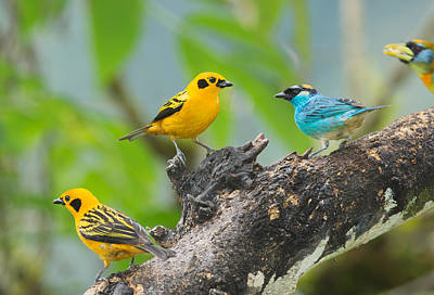 Photograph - Golden Tanagers And Golden-naped Tanager by Dan Suzio