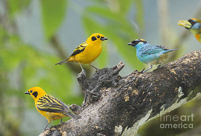 Photograph - Golden Tanagers by Dan Suzio