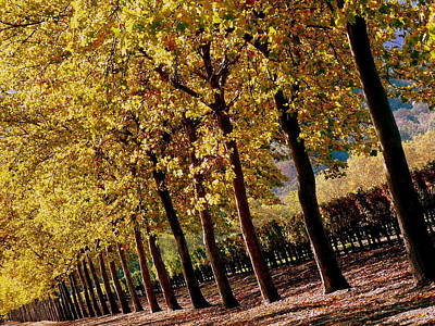 Photograph - Golden Trees And Vineyard by Jeff Lowe