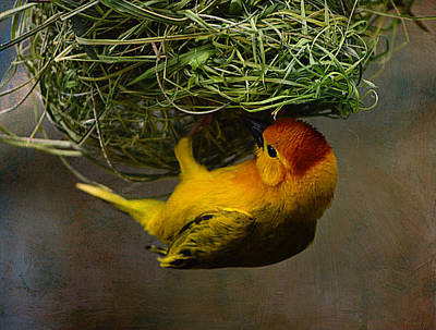 Golden Weaver Building A Nest Art Print by Maria Angelica Maira