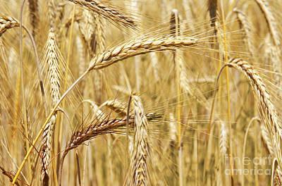 Flour Photograph - Golden Wheat  by Carlos Caetano