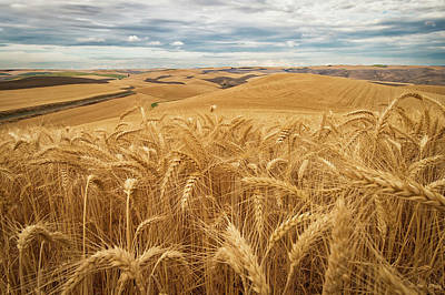 Photograph - Golden Wheat Fields On Rolling Hills by Marg Wood