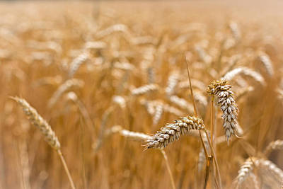 Art Print featuring the photograph Golden Wheat. by Gary Gillette