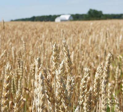 Photograph - Golden Wheat  by Rachel Munoz Striggow