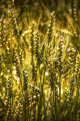 Photograph - Golden Wheat Stalks by Randall Nyhof