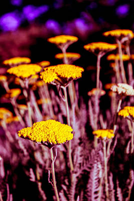 Art Print featuring the photograph Golden Yarrow On A Blood Moon Night by Dave Garner