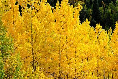 Photograph - Golden Yellow Aspens by Marilyn Burton