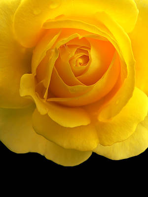 Photograph - Golden Yellow Rose And Black by Jennie Marie Schell