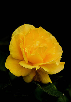 Photograph - Golden Yellow Rose Isolated On Black Background  by Tracey Harrington-Simpson