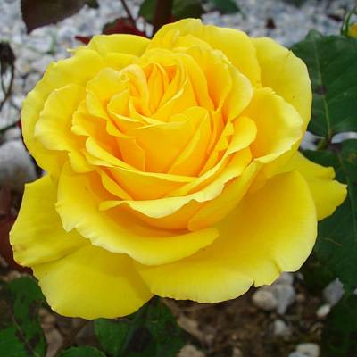 Photograph - Golden Yellow Rose With Garden Background by Tracey Harrington-Simpson