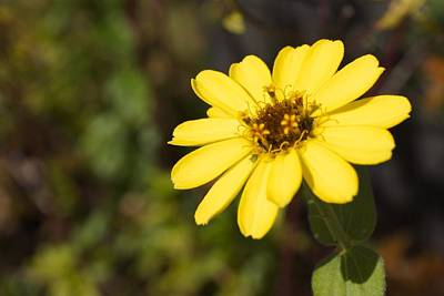 Bloom Photograph - Golden Zinnia by Photographic Arts And Design Studio