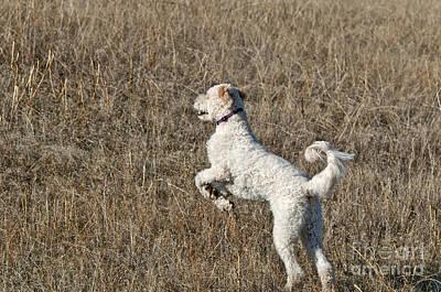 Designer Dog Photograph - Goldendoodle Jumping by William H. Mullins