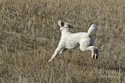 Designer Dog Photograph - Goldendoodle Running by William H. Mullins