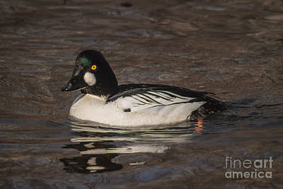 Goldeneye Photograph - Goldeneye 2 by Mitch Shindelbower