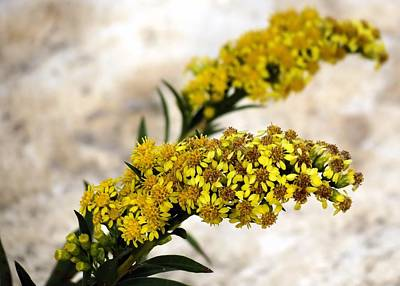 Photograph - Goldenrod by Janice Drew